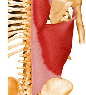 musculo latissimo d dorso