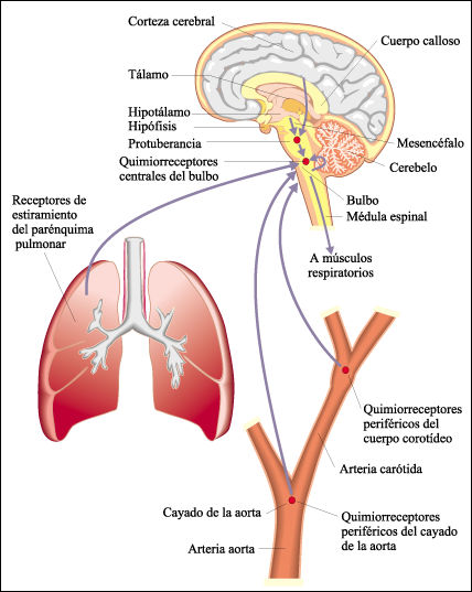 Quimiorreceptores da aorta