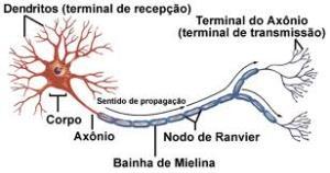 Descrição de neurônio