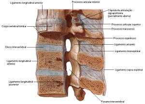 ligamentos da coluna