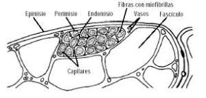 tec conj muscular