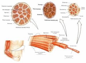 tessuto_muscolare_striato_scheletrico
