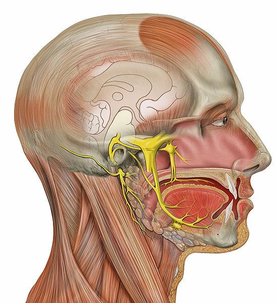 Segmentos do Nervo Facial