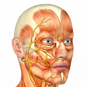 facial-nerve-and-muscle