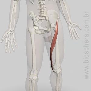 musculo-sartorio
