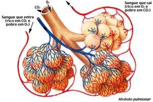 alveolos