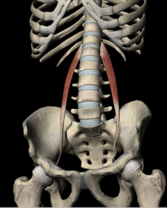 psoas menor