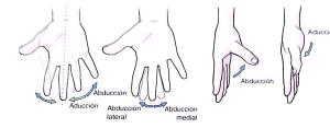 adução e abdução dos quirodáctilos