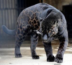 black-leopard-panther-jaguar-melanistic-big-cat_thumb