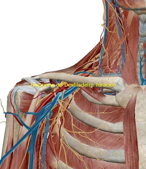 Musculos superficiais da facetronco e dos membros superiores e inferiores 2