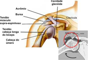 musculos que fazem parte do complexo do ombro