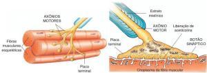 sinapse2