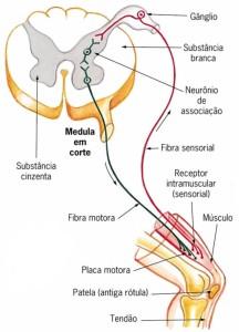 interneuronios