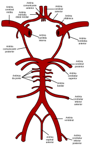 2000px-Circle_of_Willis_pt.svg