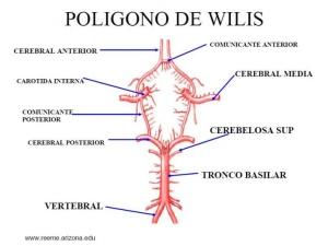 anatomia-del-sistema-ventricular-e-irrigacion-sanguinea-del-cerebro-18-728