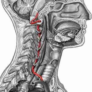 arteria-vertebral