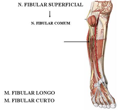 fibular
