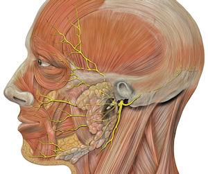 nervo-facial