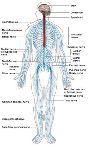 nervos-perifericos