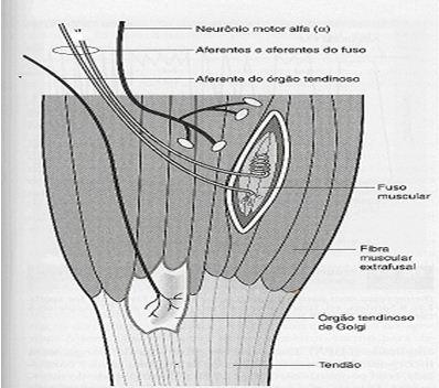 flexibilidade-aspectos-fisiologicos-e-fatores-limitantes-01.jpg