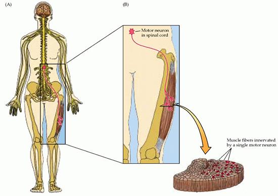 neuronio-motor